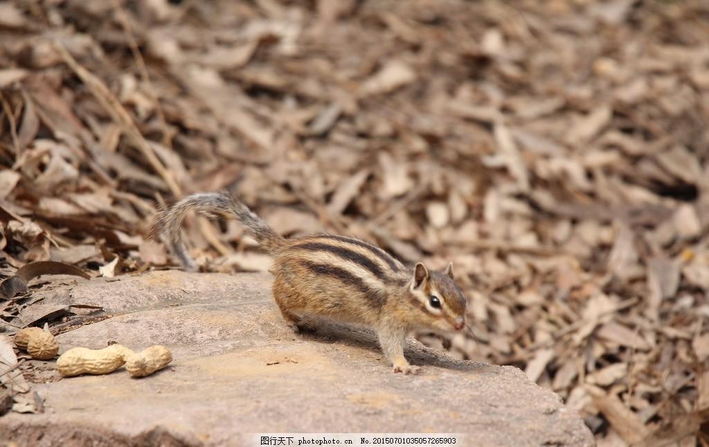动物 哺乳动物 啮齿动物 松鼠 鼠类 动物(共享) 摄影 生物世界 野生