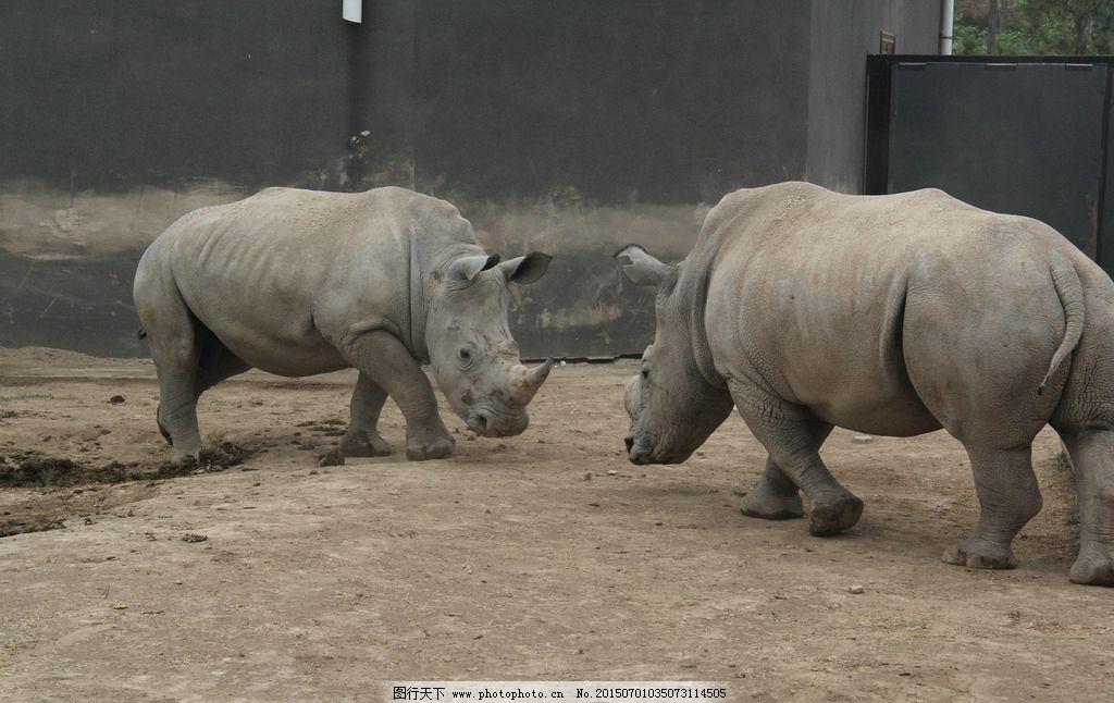 东营 动物园 动物世界 犀牛 斗争 摄影 生物世界 野生动物 45dpi jpg