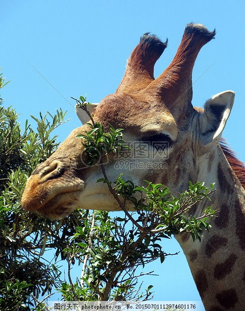长颈鹿 哺乳动物 非洲 自然 野生动物园 头 红色