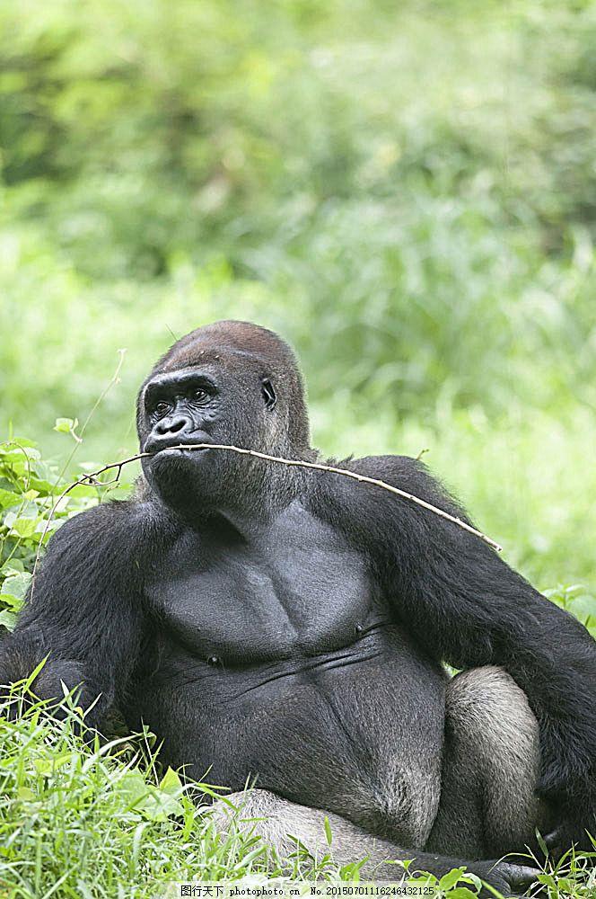 大猩猩摄影图片素材 大猩猩摄影图片 猩猩 大猩猩 野生动物 动物世界