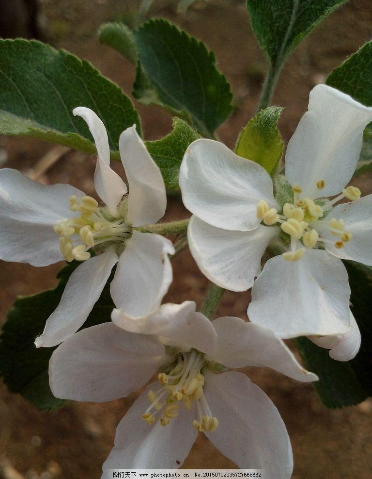 苹果树花图片