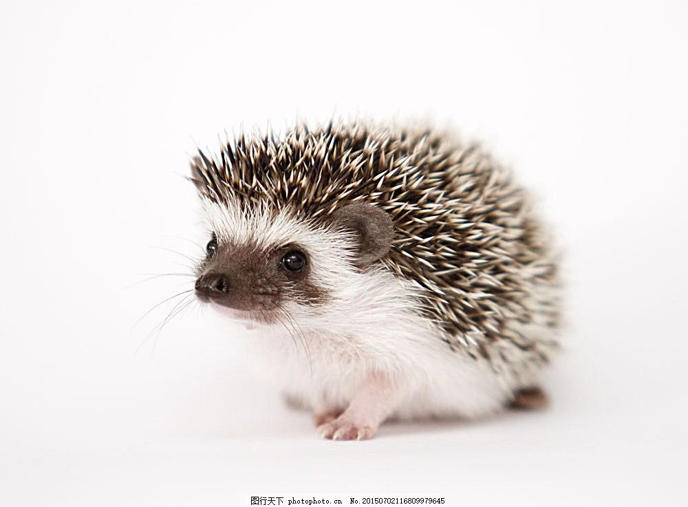 一只呆萌的刺猬 刺猬 可爱动物 动物世界 野生动物 陆地动物 动物
