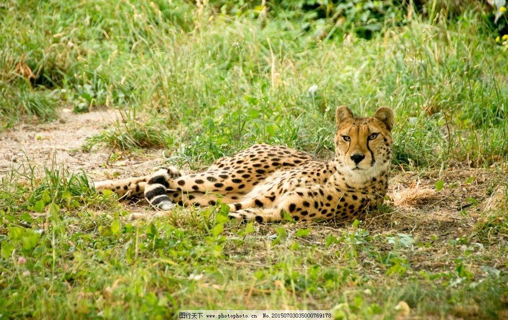我的野生动物朋友豹子