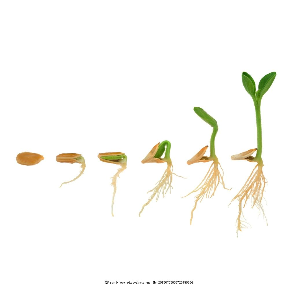 生长过程 成熟 长苗 种子 发芽 生物世界 摄影 生物世界 花草 300dpi