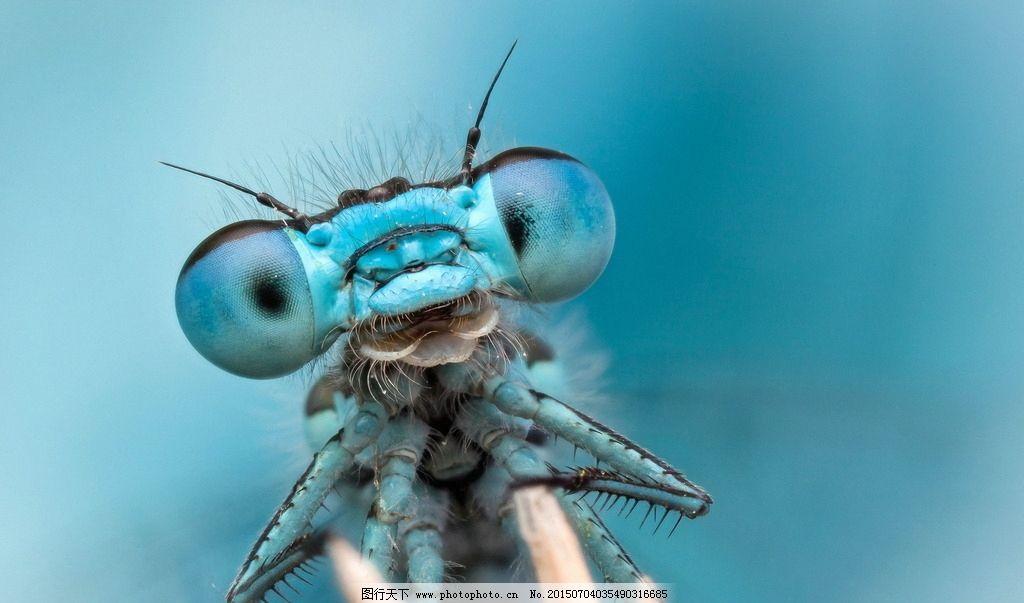 蓝色蜻蜓 小昆虫 无脊椎动物 节肢动物门 昆虫纲 有翅亚纲 蜻蜓目