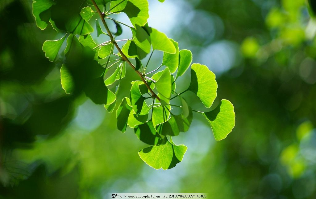 银杏叶 植物 树木 四季 自然 环境 绿叶 绿色 银杏树叶 摄影