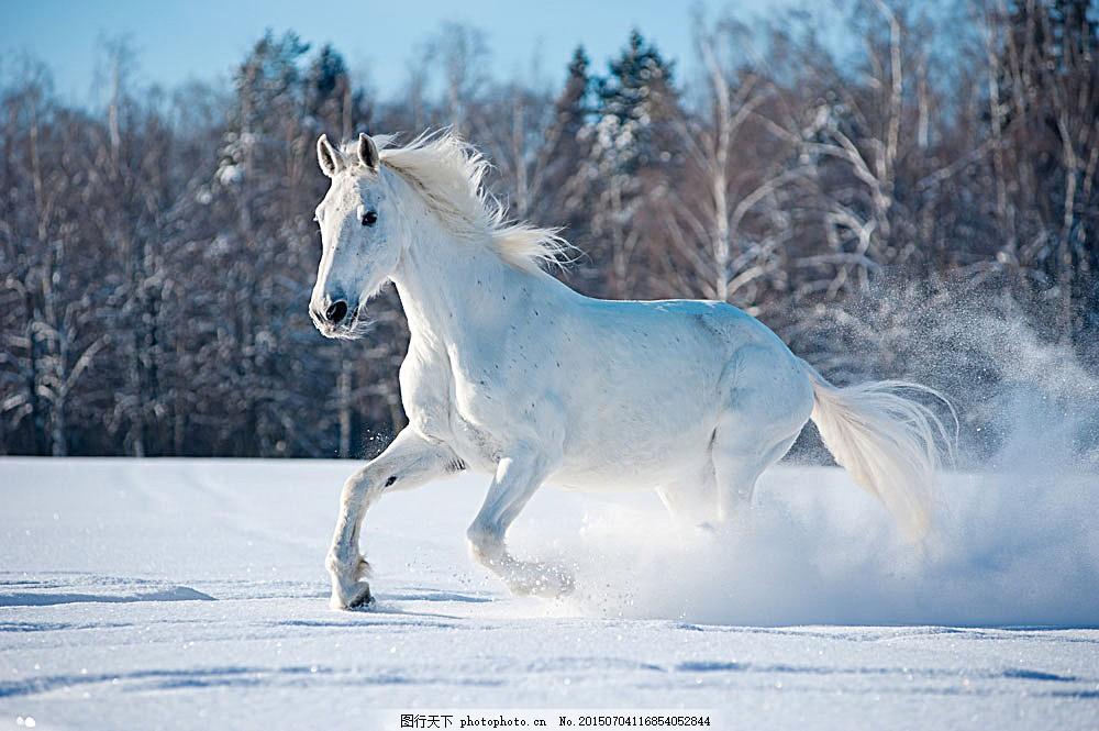 雪地里奔跑的白马 树林 动物世界 野生动物 陆地动物 生物世界
