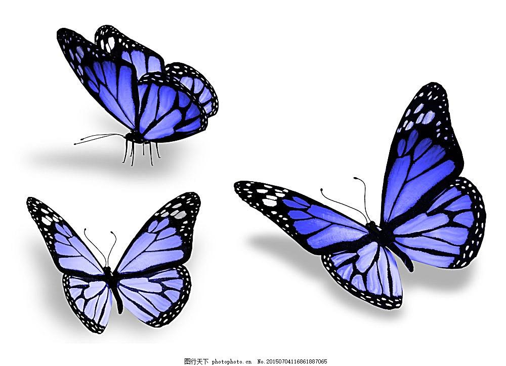 飞翔的蝴蝶 蝴蝶 美丽蝴蝶 蝴蝶标本 动物标本 动物世界 昆虫世界