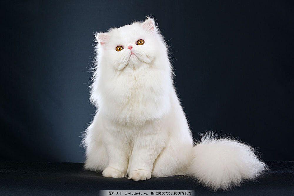 可爱波斯猫 猫咪 小猫 宠物猫 可爱动物 动物世界 动物摄影 陆地动物