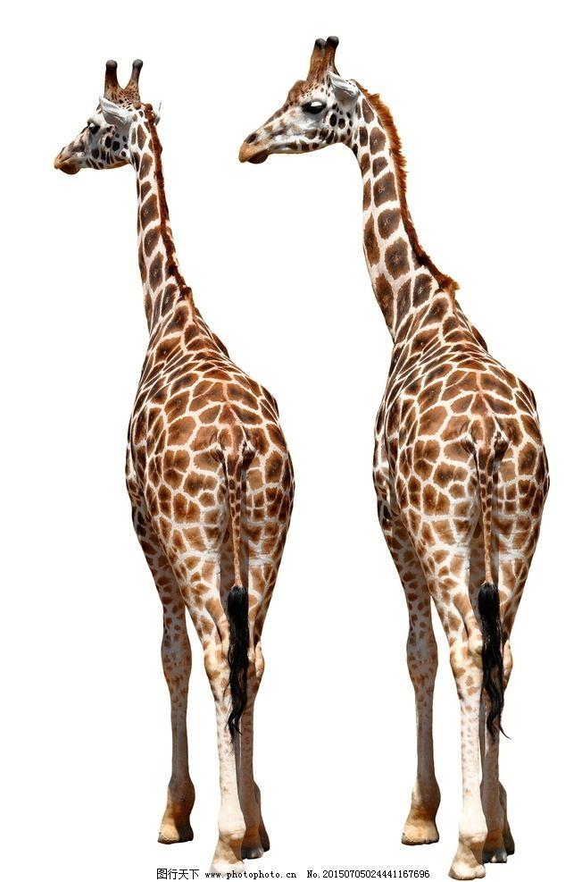 长颈鹿 动物表情 野长颈鹿特写 可爱长颈鹿 非洲长颈鹿  设计 生物