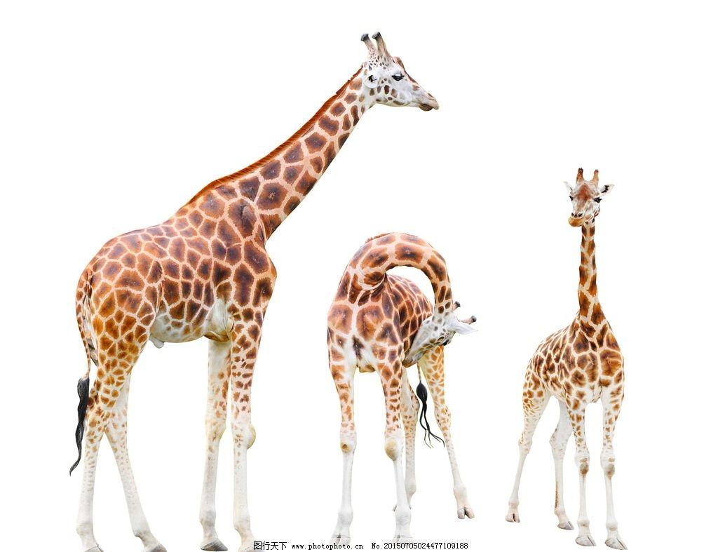 长颈鹿 动物表情 野长颈鹿特写