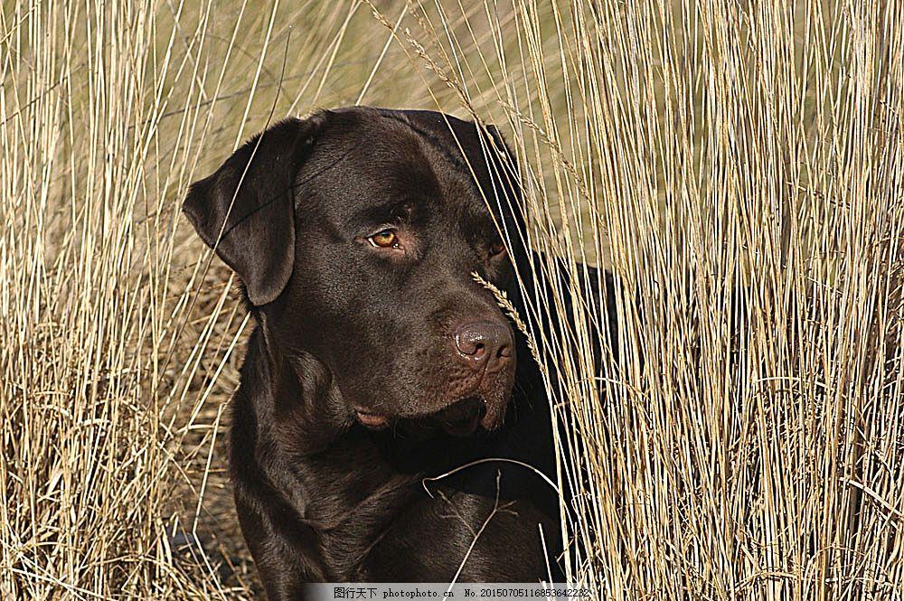 黑色大狗 宠物 可爱小狗 名贵 犬种 动物世界 宠物摄影 陆地动物 生物
