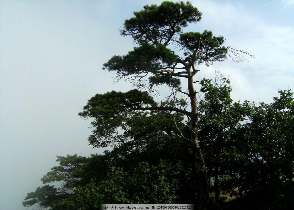 树 松树 摄影 山上 植物 丹东凤凰山 凤凰山 山 风景 风景区 风景名胜