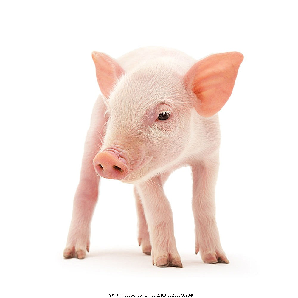 小猪摄影 动物摄影 动物世界 家畜 陆地动物 生物世界 图片素材