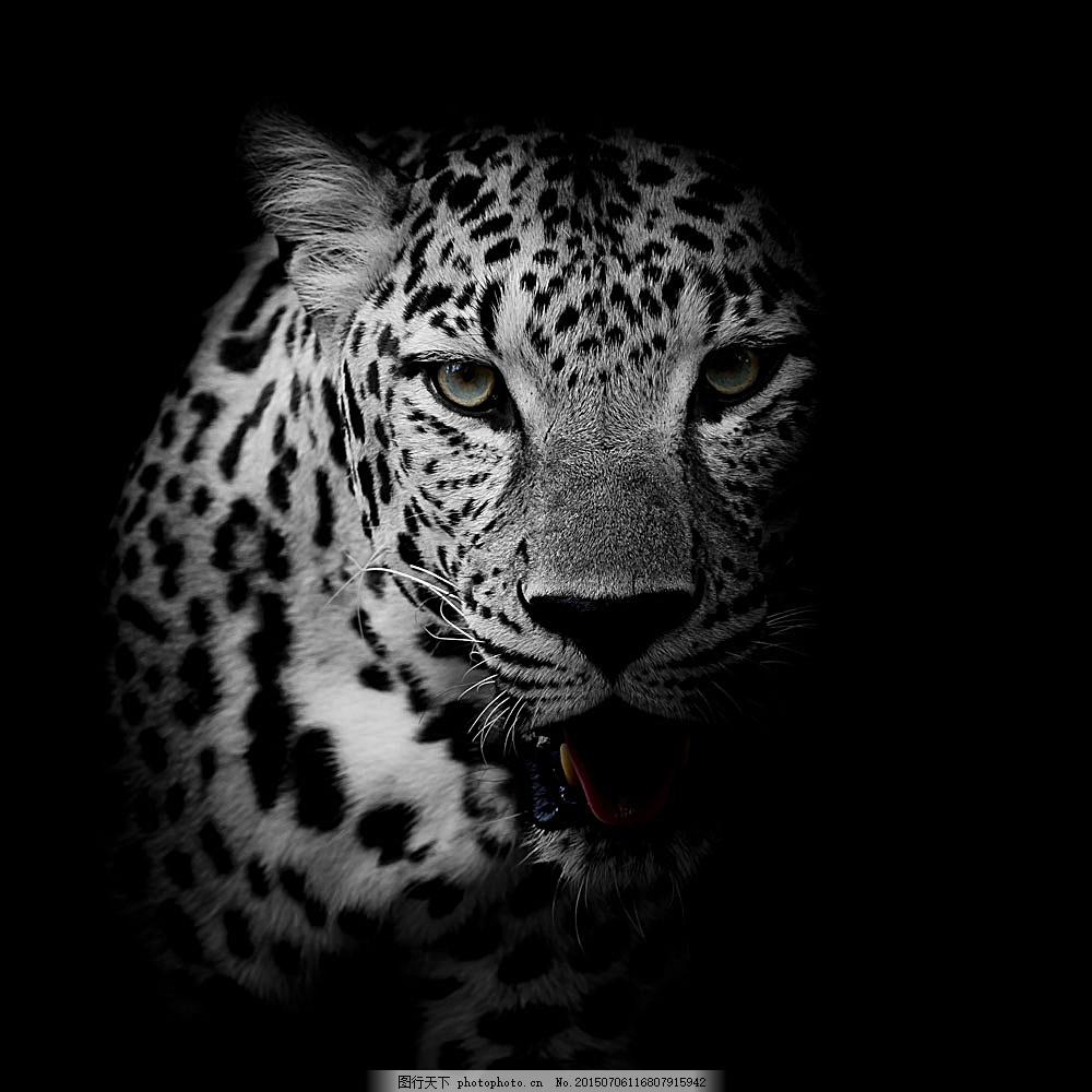 豹子黑白艺术照 豹子 猎豹 野生动物 动物摄影 动物世界 陆地动物
