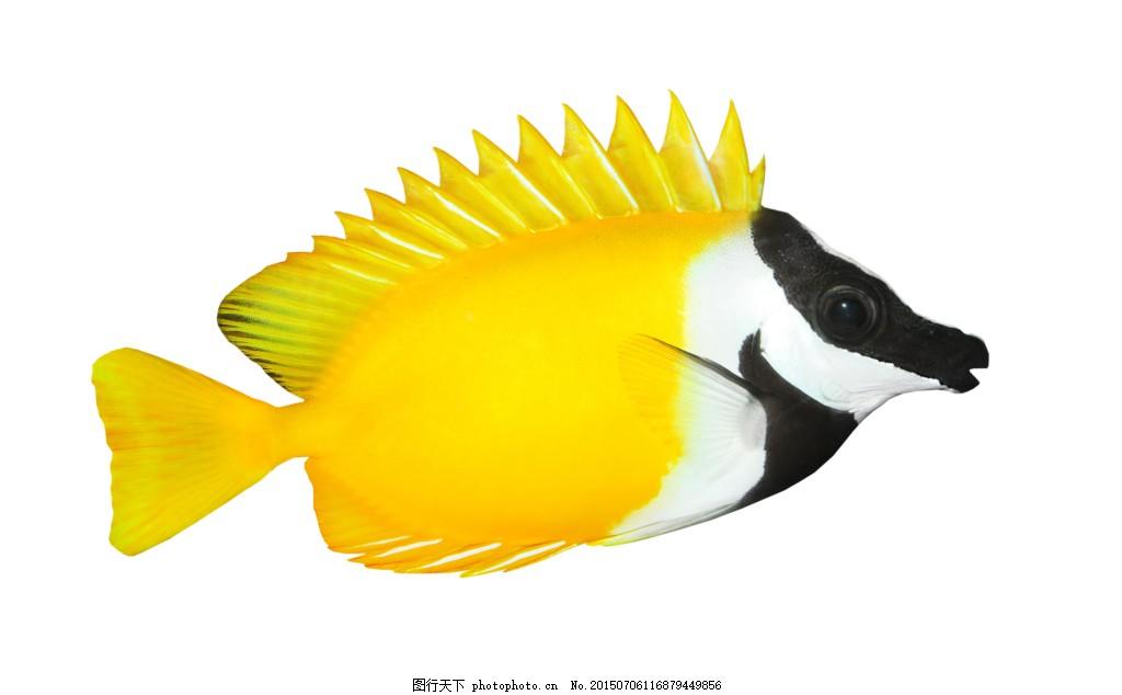 美丽的热带鱼高清 种类 漂亮的小鱼 彩色 热带鱼 鱼类 动物 海鱼 图片