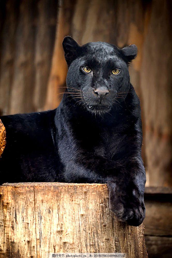 美洲狮 猫科动物 动物世界 野生动物 陆地动物 生物世界 图片素材