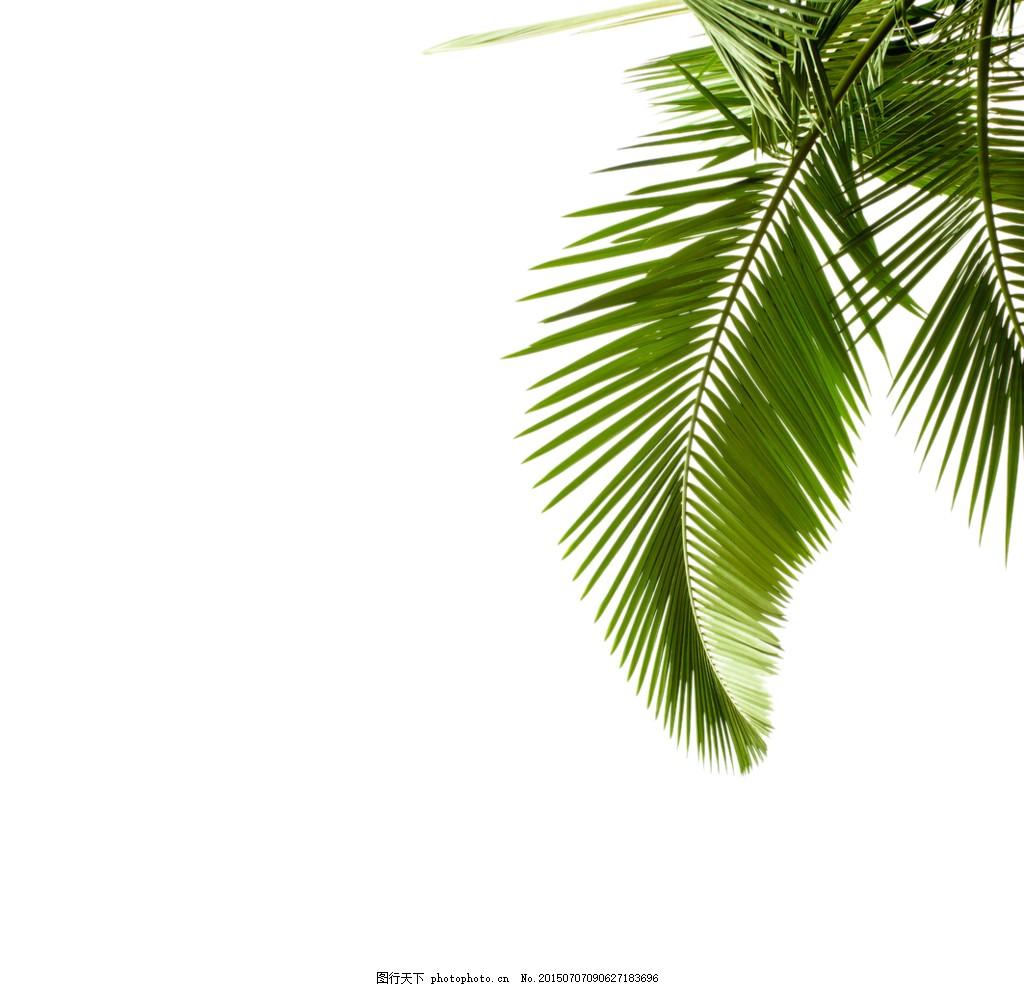 椰树的叶子 叶子 椰子 椰树 夏天海滩素材 防晒霜素材 psd 白色