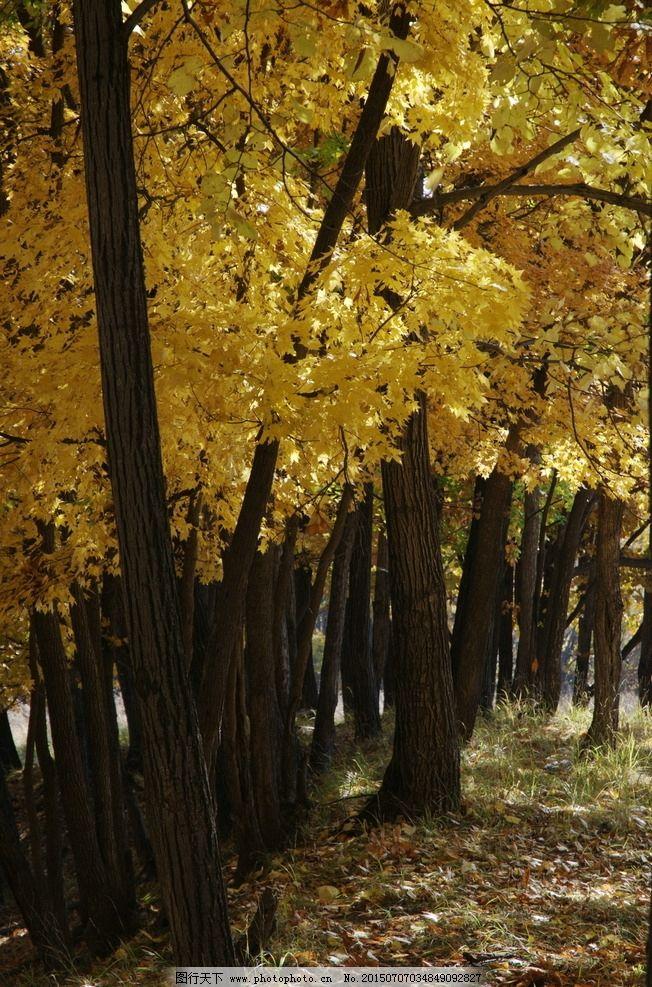 柞树林 黄树叶 秋天 黄色 灌木林 柞树 林荫小路 摄影 自然景观 自然