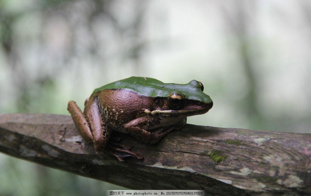 树蛙 蛙 两栖动物 南靖树海 漳州南靖树海 动物 树蛙 摄影 生物世界
