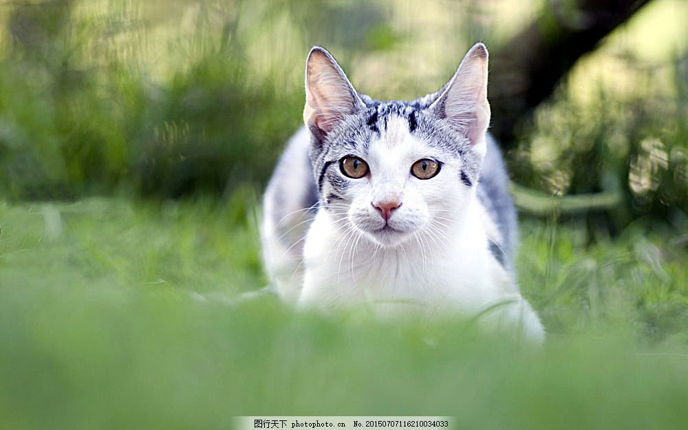草地上可爱小猫 猫咪 小猫 宠物 猫科动物 野生动物 动物世界 陆地