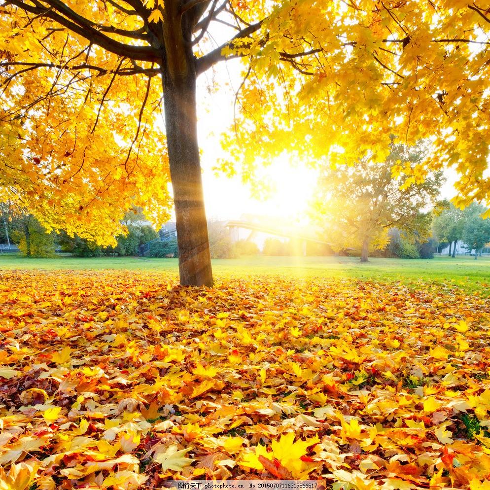 金秋 枫叶 阳光 金色 秋天 树 摄影 自然景观 山水风景 黄色