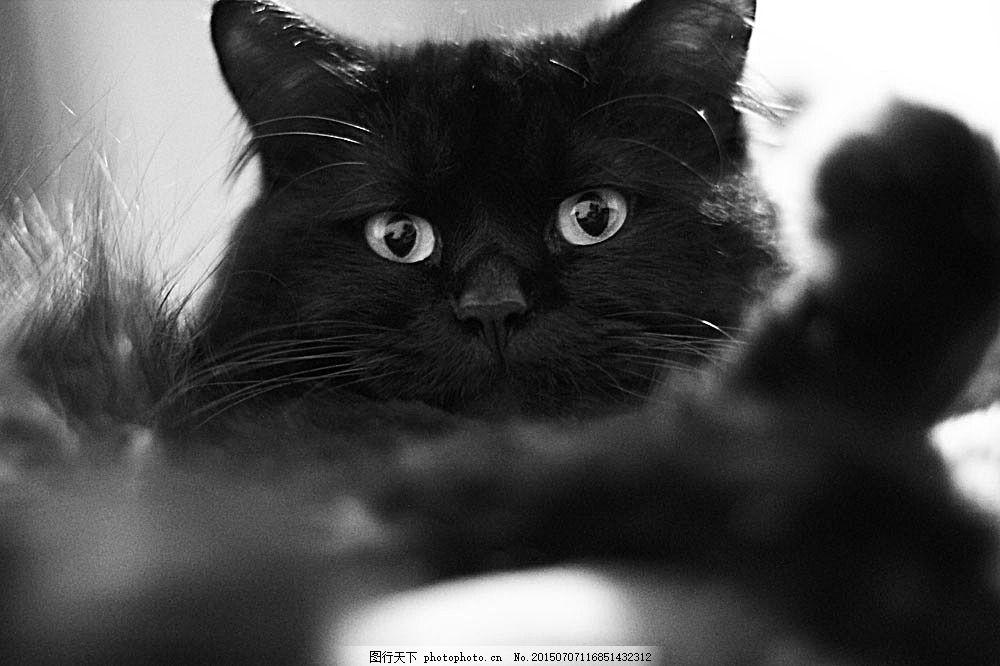黑色小猫摄影 小猫 黑猫 猫咪 萌宠 宠物猫 动物世界 可爱动物 陆地