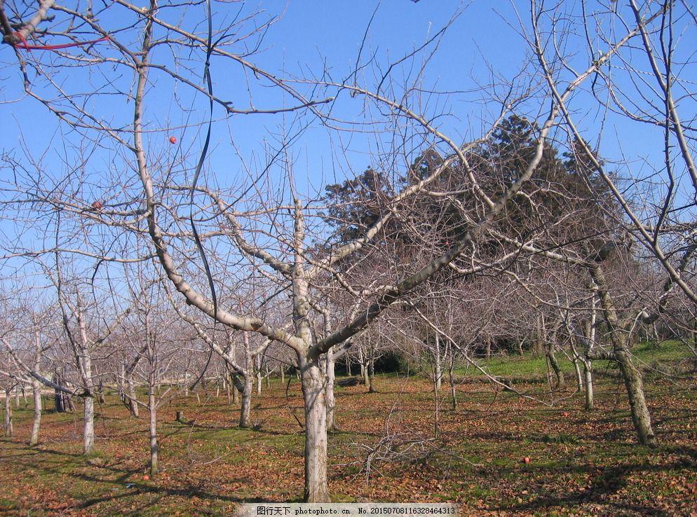 冬季苹果园 苹果园 修剪 苹果树 日本果园 冬季果园 田园风光 自然
