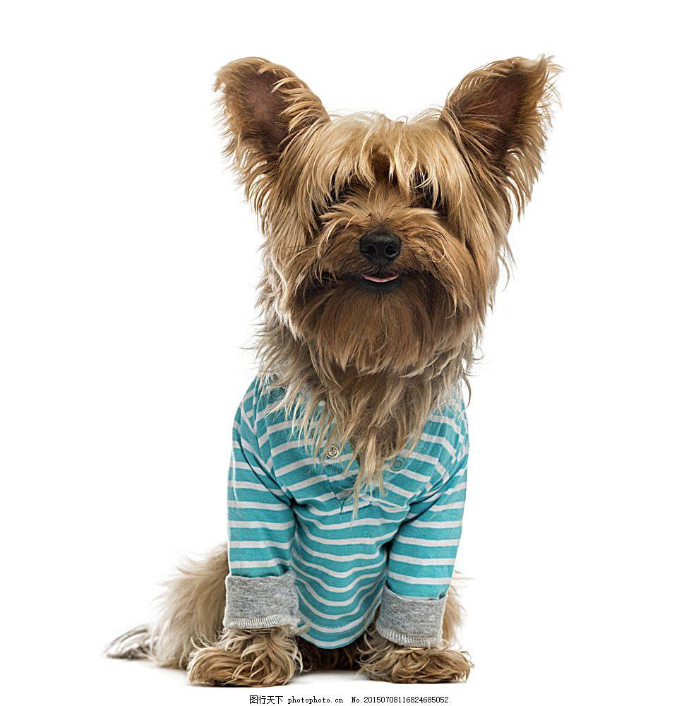 穿衣服的狗 野生动物 动物世界 陆地动物 生物世界 图片素材 白色