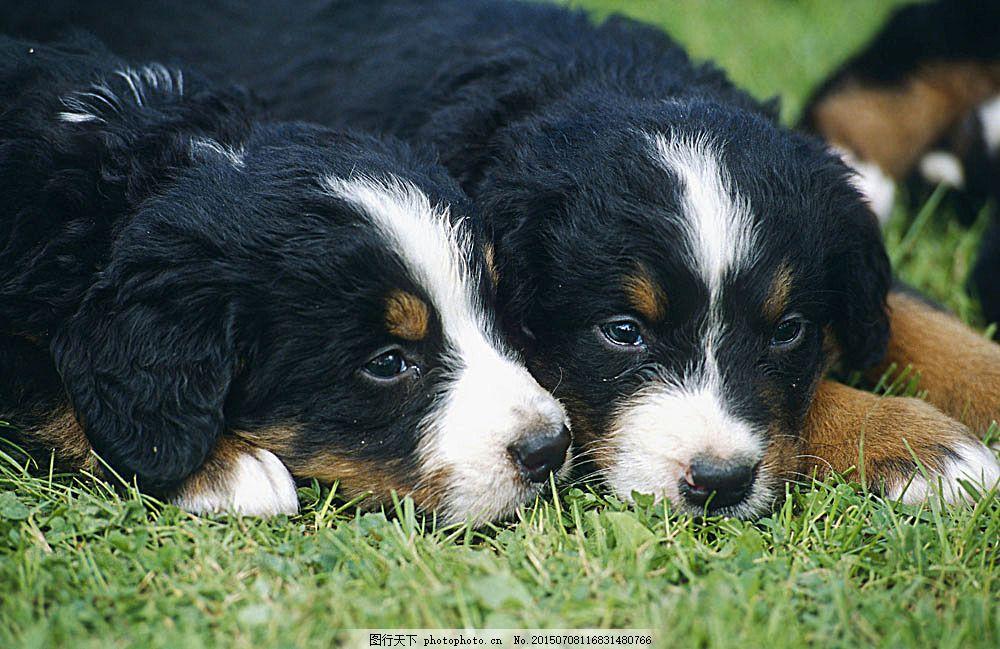趴着的狗狗 小狗 犬 小狗图片 宠物狗 名贵犬种 宠物狗图片 可爱宠物