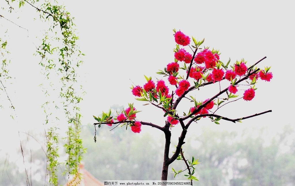 桃树单体手绘线稿
