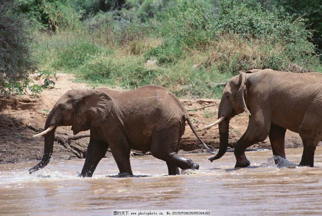 大象 大象过河 水 野外风景 素材 摄影 生物世界 野生动物 350dpi jpg