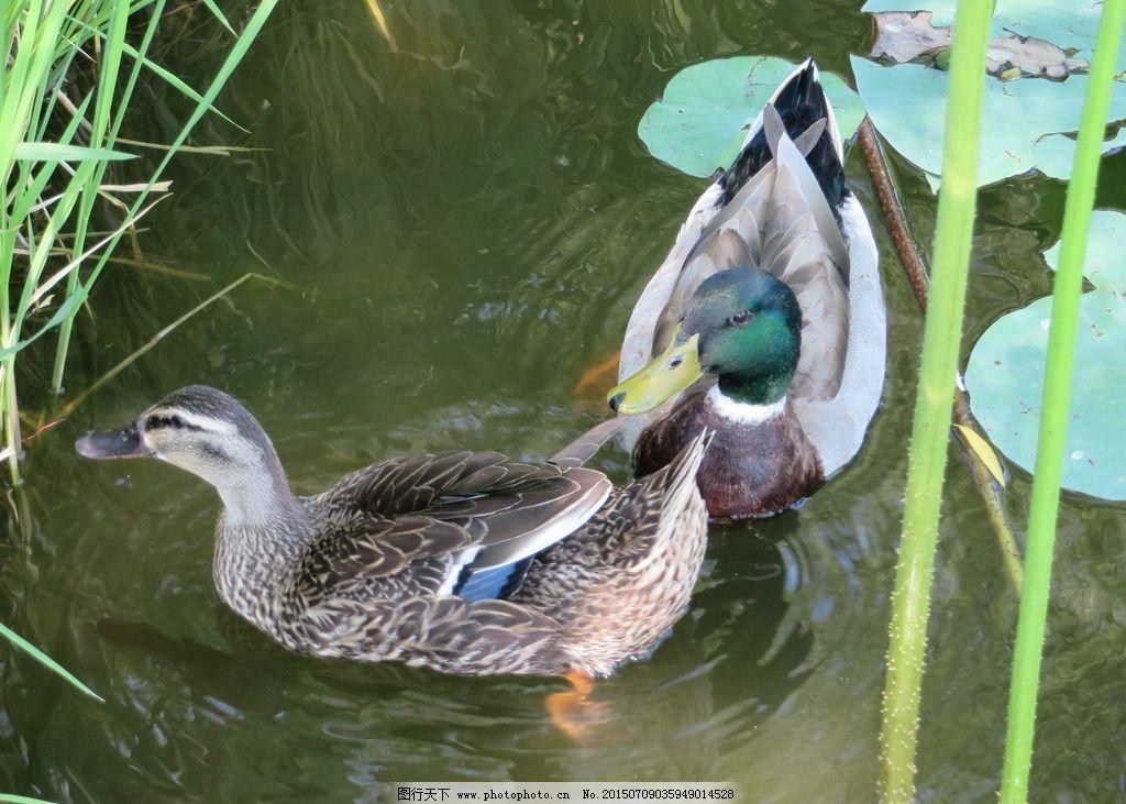 池塘里的鸭子图片