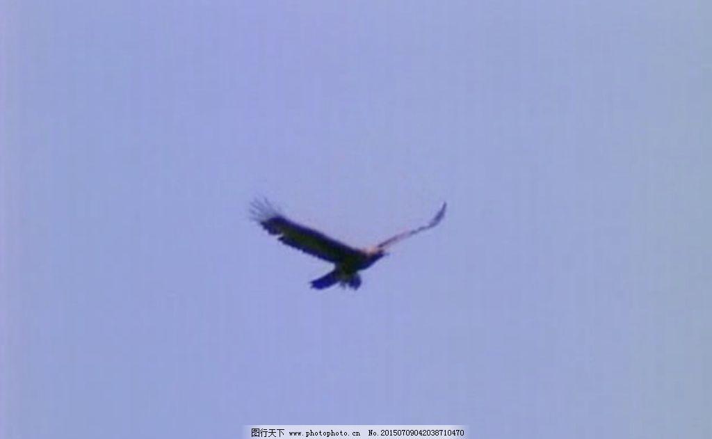 老鹰 动物 鸟类 翱翔 天空