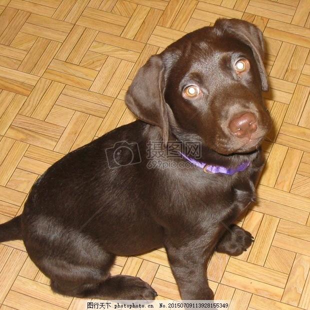 拉布拉多 实验室 检索器 受欢迎 品种 狗 动物 婴儿 小狗 红色