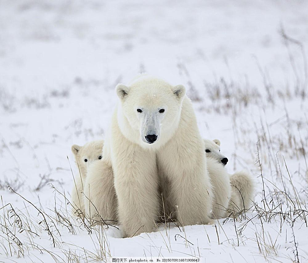 北极熊 狗熊 熊 凶猛动物 野生动物 动物世界 陆地动物 生物世界 图片