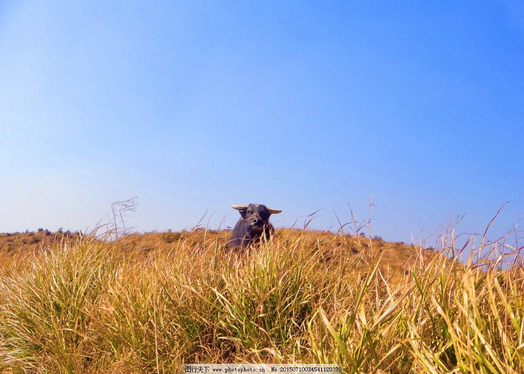 老牛 黄草 蓝天 自然 动物 牛 秋天 摄影 摄影 自然景观 田园风光 350