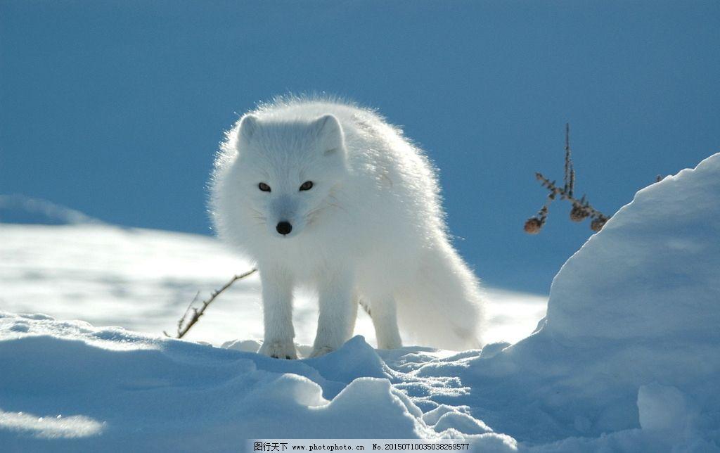北极狐图片_野生动物_生物世界