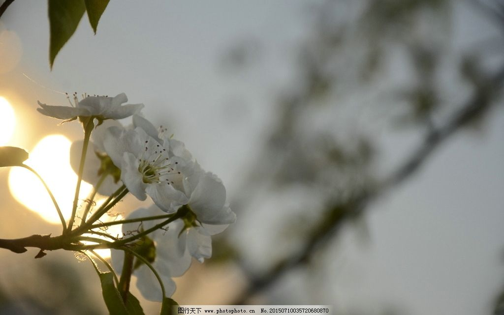 花 白色 叶子 树枝 摄影 生物世界 花草 300dpi jpg