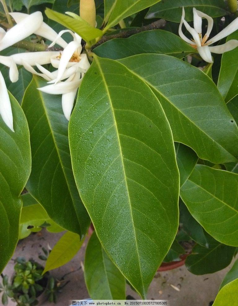白兰花叶子图片