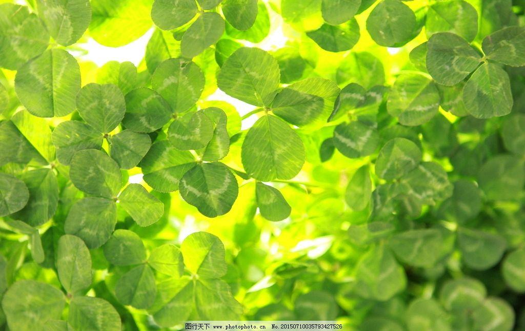 四叶草 外景 绿色 透亮 三叶草 摄影 生物世界 花草 72dpi jpg
