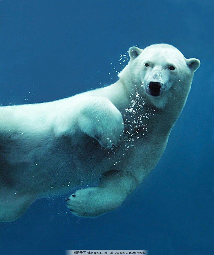 游泳的北极熊 动物 野生动物 动物世界 动物摄影 陆地动物 生物世界