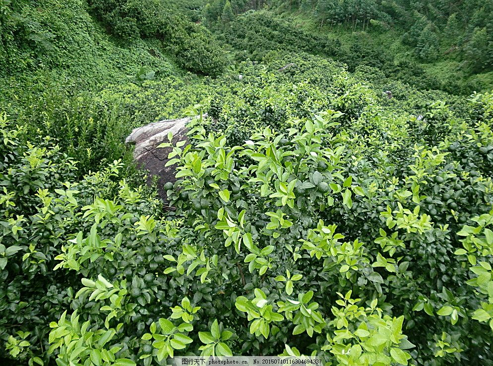 果园 桔子树 橘子树 果树林 壁纸 摄影 自然景观 田园风光 黑色