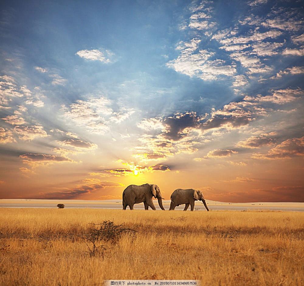 草原上的大象高清 动物世界 非洲草原 黄昏 火烧云 哺乳动物 野生动物