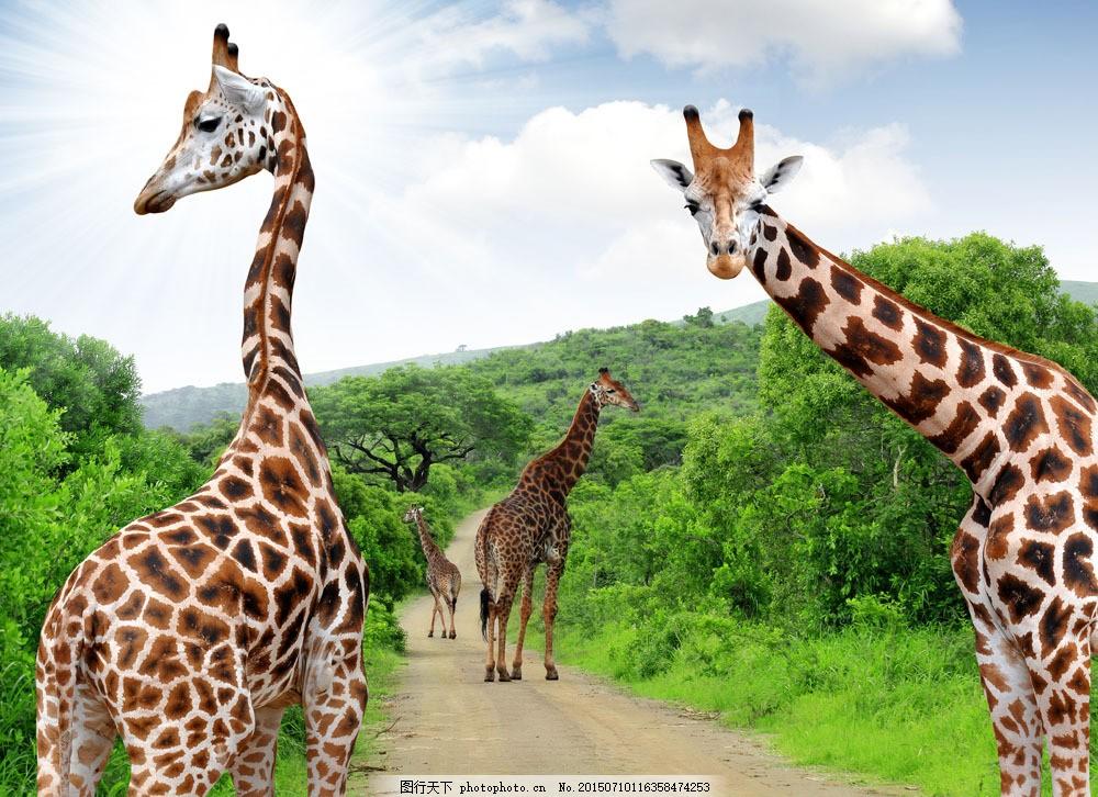 长颈鹿与树木 野生动物 动物世界 陆地动物 生物世界 非洲长颈鹿