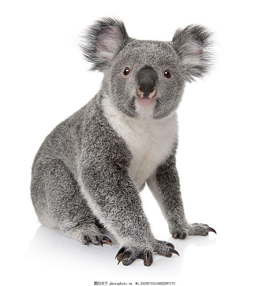 可爱的树袋熊 动物 动物世界 动物摄影 陆地动物 生物世界 图片素材