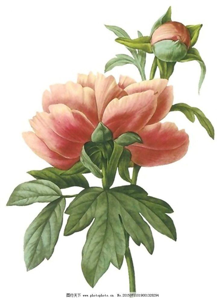 牡丹花 花卉 绘画 水彩花