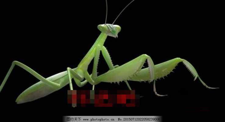 螳螂3d模型下载免费下载 3d模型 虫子 大气 动物 螳螂 3d模型 大气