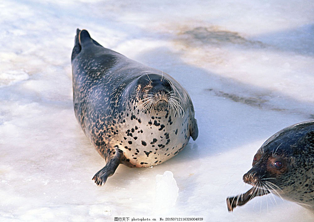 冰川上的海豹 动物世界 海底生物 水中生物 生物世界 图片素材