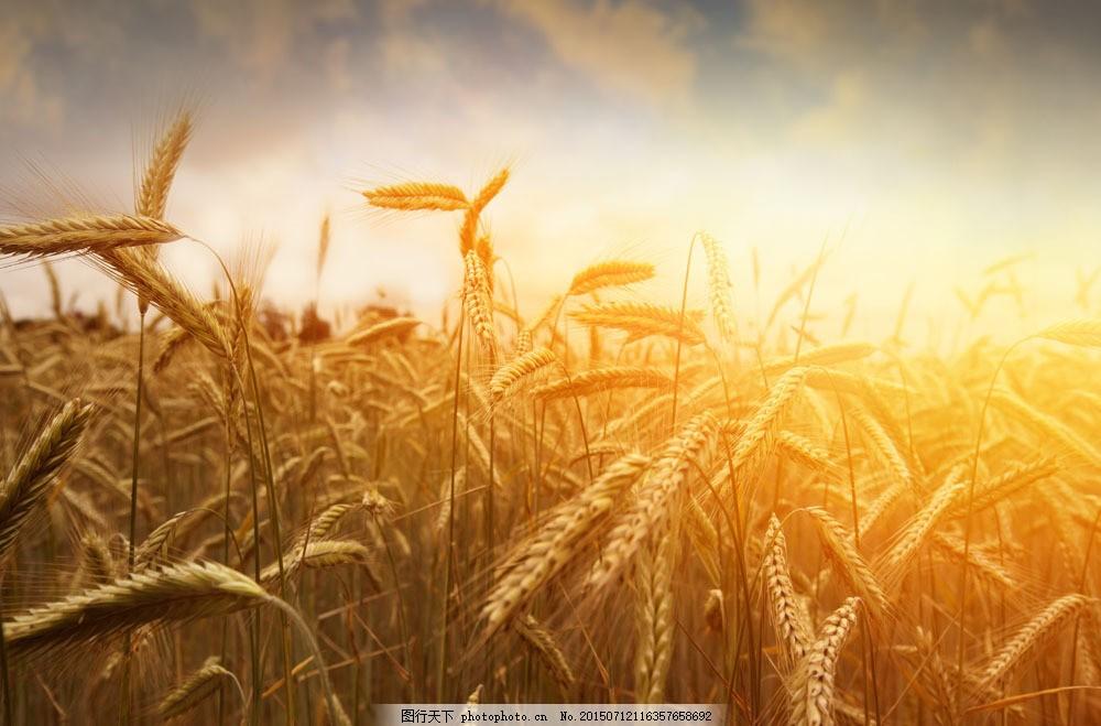 秋天麦田风景 秋天麦田风景图片素材下载 麦穗 麦子 小麦 秋收